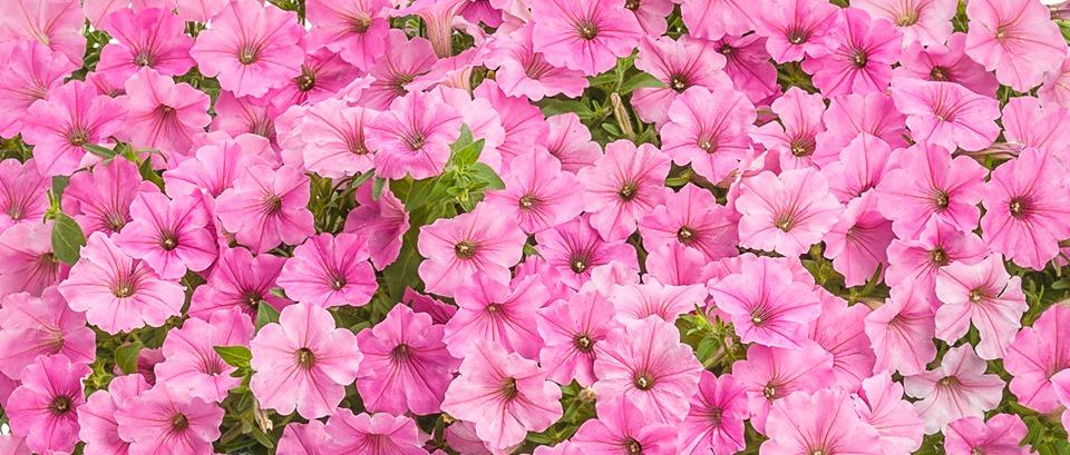 Petunie per una primavera ricca di fiori